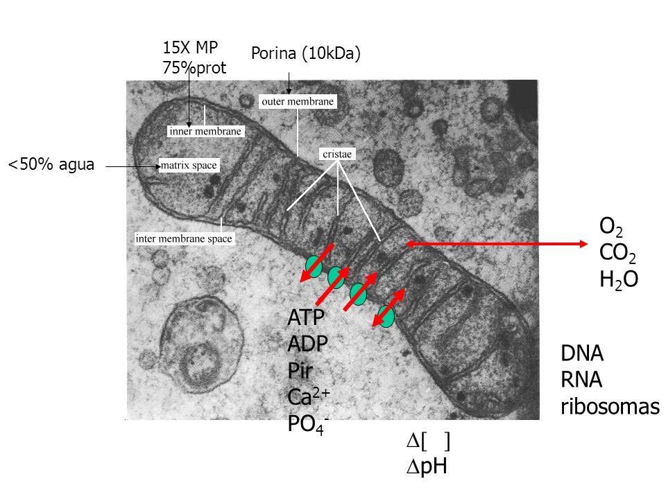 O2 CO2 H2O ATP ADP Pir DNA Ca2+ RNA PO4- ribosomas D[ ] DpH 15X MP